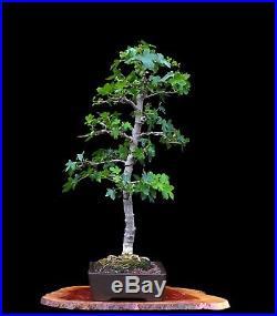 BONSAI TREE ORIENTAL SWEETGUM (LIQUIDAMBAR) in FINE YIXING POT