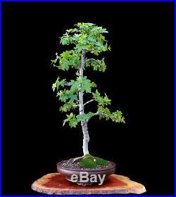 BONSAI TREE ORIENTAL SWEETGUM (LIQUIDAMBAR) in OLD YIXING POT