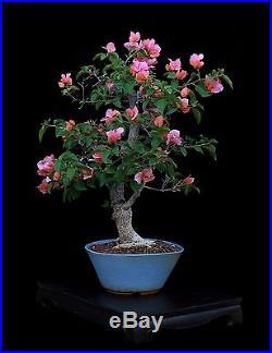 BONSAI TREE PINK BOUGAINVILLEA in FINE GLAZED BLUE POT