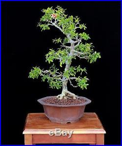BONSAI TREE POMEGRANATE in JAPANESE POT