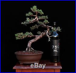 BONSAI TREE PROSTRATA JUNIPER in JAPANESE Clay pot