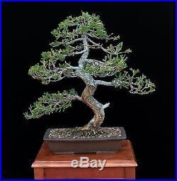 BONSAI TREE PROSTRATA JUNIPER with 2 TRUNK