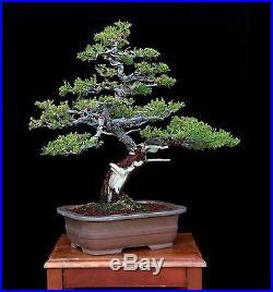 BONSAI TREE PROSTRATA JUNIPER with DEADWOOD