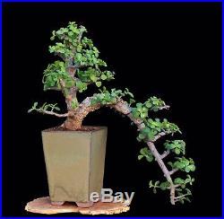 BONSAI TREE RARE INDOOR OR OUTDOOR CASCADE CORK BARK JADE in CLAY POT