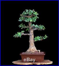 BONSAI TREE RARE INDOOR OR OUTDOOR CHUHIN CORK BARK JADE in FINE CLAY POT