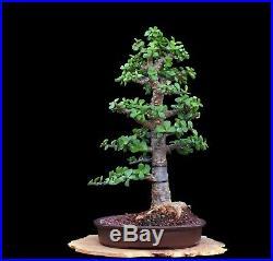 BONSAI TREE RARE INDOOR OR OUTDOOR CHUHIN CORK BARK JADE in TOKONAME CLAY POT