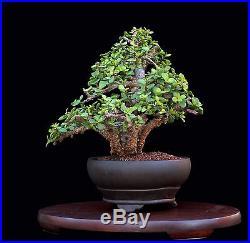 BONSAI TREE RARE INDOOR OR OUTDOOR CORK BARK JADE in CLAY POT