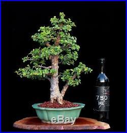 BONSAI TREE RARE INDOOR OR OUTDOOR CORK BARK JADE in JAPANESE CLAY POT