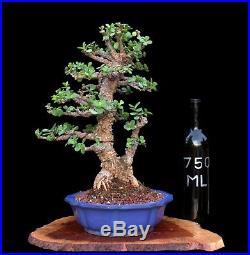 BONSAI TREE RARE INDOOR OR OUTDOOR TWIN TRUNK CORK BARK JADE in FINE CLAY POT