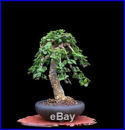 BONSAI TREE RARE LITERATI CORK BARK JADE in'YAMAAKI' CLAY POT