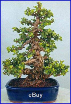 BONSAI TREE RARE LITERATI CORK BARK JADE in'YIXING' CLAY POT