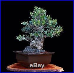 BONSAI TREE RARE OLIVE in JAPANESE TOKONAME CLAY POT