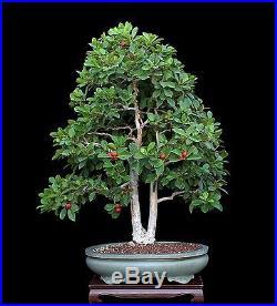 Indoor Bonsai :: BONSAI TREE RARE TWIN-TRUNK STRAWBERRY
