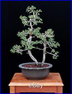 BONSAI TREE SAN JOSE JUNIPER TWIN TRUNK