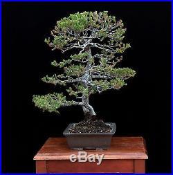BONSAI TREE SAN JOSE JUNIPER TWIN TRUNK WITH 2 BASE