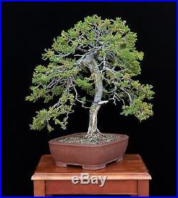 BONSAI TREE SAN JOSE JUNIPER with 1 ½ TRUNK in JAPANESE CERAMIC POT