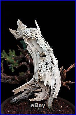 BONSAI TREE SAN JOSE JUNIPER with DRAMATIC DEADWOOD
