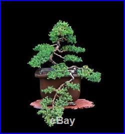 BONSAI TREE SEMI CASCADE JAPANESE (Green Mound) JUNIPER in TOKONAME KEIZAN POT