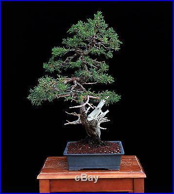 BONSAI TREE SHIMPAKU JUNIPER with DRAMATIC DEADWOOD
