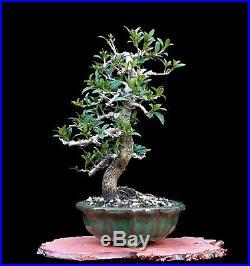 BONSAI TREE SHOHIN EUGENIA in FINE LOTUS FLOWER CLAY POT