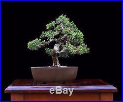 BONSAI TREE SHOHIN ITOIGAWA SHIMPAKU JUNIPER by TAK SHIMAZU in JAPANESE POT