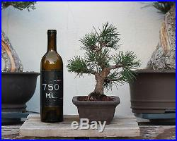 BONSAI TREE SHOHIN JAPANESE BLACK PINE with Thick Trunk