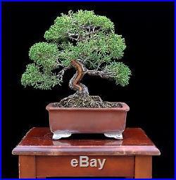 BONSAI TREE SHOHIN KISHU SHIMPAKU JUNIPER