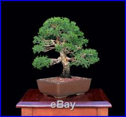 BONSAI TREE SHOHIN KISHU SHIMPAKU JUNIPER from the KENJI MIYATA Collection