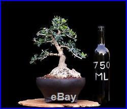 BONSAI TREE SHOHIN OLIVE WITH 5 BASE in YIXING POT