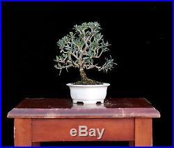 BONSAI TREE SHOHIN OLIVE in BUNZAN SETO BONSAI POT