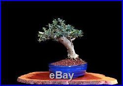 BONSAI TREE SLANTING CHUHIN OLIVE WITH 2 TRUNK in GLAZED BLUE POT