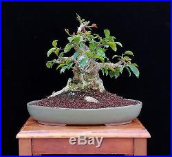 BONSAI TREE SUMO FICUS INDOOR/OUTDOOR with MASSIVE 6 TRUNK