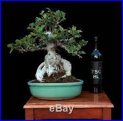 BONSAI TREE SUMO FICUS INDOOR/OUTDOOR with MASSIVE 7 TRUNK