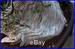 BONSAI TREE TANUKI (PHOENIX GRAFT) JAPANESE JUNIPER