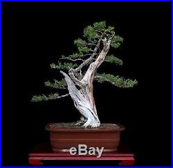 Indoor Bonsai Bonsai Tree Tanuki Phoenix Graft With Prostrata Juniper Http Indoorbonsai Biz