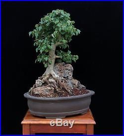 BONSAI TREE TRIDENT MAPLE ROOT OVER ROCK & SMALL LEAF