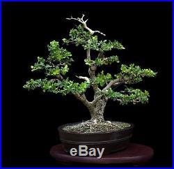BONSAI TREE TWIN TRUNK BOXWOOD in JAPANESE TOKONAME CLAY POT