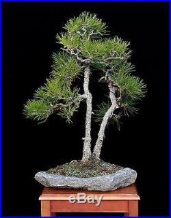 BONSAI TREE TWIN TRUNK JAPANESE BLACK PINE on CUSTOM MADE STONE SLAB