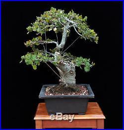 BONSAI TREE TWIN TRUNK OAK with MASSIVE 6 ½ TRUNK