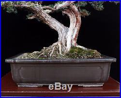 BONSAI TREE TWIN TRUNK PROSTRATA JUNIPER in OLD TOKONAME POT