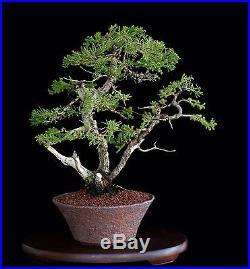 BONSAI TREE TWIN TRUNK SAN JOSE JUNIPER in FINE CUSTOM POT