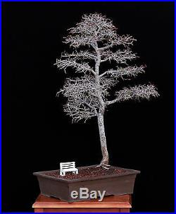 BONSAI TREE WHITE BENCH and ELM IN JAPANESE CLAY POT