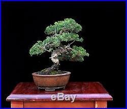 BONSAI TREE by KENJI MIYATA JAPANESE (NANA) JUNIPER in TOKONAME POT