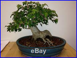 BONSAI TRIDENT MAPLE MASSIVE TRUNK OUTSTANDING TREE AND POT SHOW STOPPER