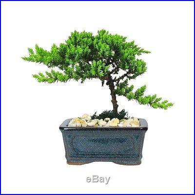 BONSAI Tree 4 Year Old Japanese Juniper in 5 Bonsai Pot eBay Special