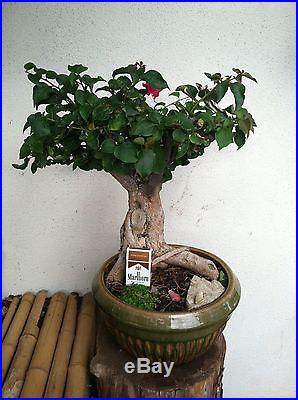 BOUGAINVILLEA BONSAI TREE THICK LARGE TRUNK PINK BLOOMING FLOWERS JAPANESE ART