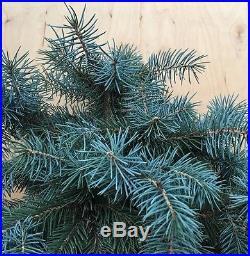 Baby Blue Spruce Bonsai Kifu Evergreen Small Needles Big Thick Twin Trunk