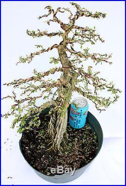 Bahama Berry(Nashia Inaguensis). Pre Bonsai Tree specimen