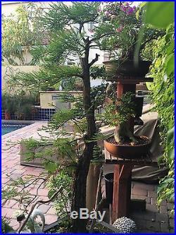Bald Cypress Bonsai Stunning