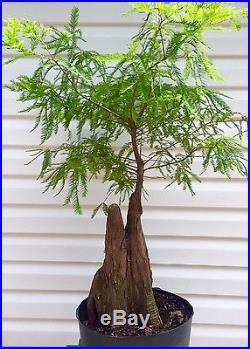 Bald Cypress Knee Specimen Bonsai Tree